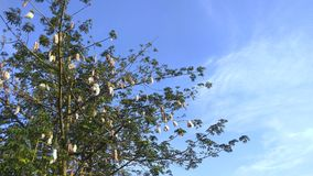 Mature Cotton Tree Standalone Blue Sky. A fully grown cotton tree with cotton buds ready to be harvested Royalty Free Stock Photo