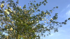 Mature Cotton Tree Standalone Blue Sky. A fully grown cotton tree with cotton buds ready to be harvested Royalty Free Stock Photography