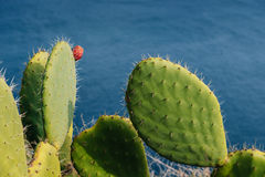 Mature couple Barbed cactus and fruit against water Stock Images