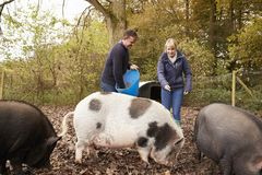 Mature Couple Feeding Rare Breed Pigs In Garden Royalty Free Stock Photography
