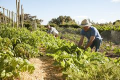 Mature Couple Harvesting Beetroot On Community Allotment Royalty Free Stock Photography