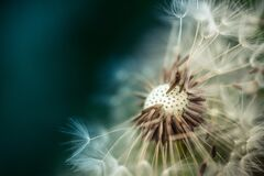 Mature dandelion Royalty Free Stock Images