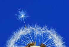 Mature dandelion flower royalty free stock photo