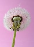 Mature dandelion flower royalty free stock photos