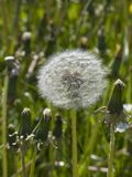 Mature dandelion in grass Royalty Free Stock Photo