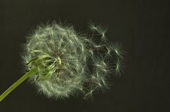 Mature dandelion with seeds. Mature dandelion seed closeup shot on dark background Stock Images