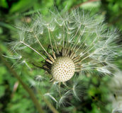 Mature dandelion seeds wings release Stock Photography