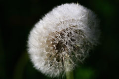 Mature dandelion shrouded by dew Stock Image