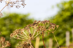 Mature dill close-up Royalty Free Stock Photography