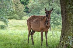 Mature doe elk standing near a tree. With soft green background of vegetation stock image