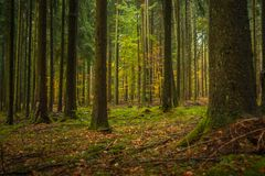 Mature Douglas Fir Plantation Forest in Germany. A mature stand of heavy trunked Douglas Fir trees with a small component of beech trees in the understory royalty free stock photo