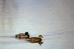 Mature drake & hen mallard on a calm pond in Boise Idaho. Reflection on the water Stock Image