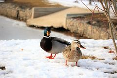 Mature drake & hen mallard standing in the snow in front of rock dike. With a spill way behind them Stock Photos