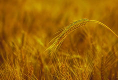 The mature, dry ear of golden wheat in the drops after rain Royalty Free Stock Images