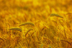 The mature, dry ear of golden wheat in the drops after rain in a field at sunset. Stock Photography