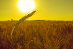 The mature, dry ear of golden wheat Royalty Free Stock Images
