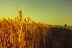 The mature, dry ear of golden wheat  in a field at sunset. Stock Photos