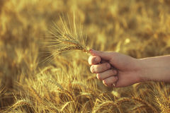 Mature, dry ears of golden wheat in a field at sunset in his hand agronomist. Harvesting Stock Photography