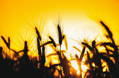 Mature, dry spikelets of wheat gold color close-up in the field on a background sunset. Cleaning summer harvest crops Stock Image
