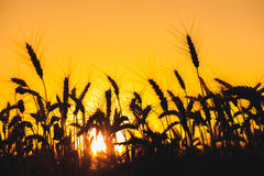 Mature, dry spikelets of wheat gold color close-up in the field on a background sunset. Royalty Free Stock Photo