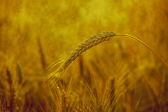 The mature, dry, yellow ear of wheat in the drops of water, on the field after the rain Stock Photography