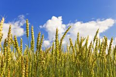 Mature ears o wheat on Field Stock Photo