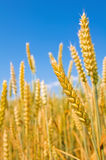 Mature ears of wheat. Stock Photos
