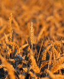 Mature ears of wheat in the field in summer Royalty Free Stock Image