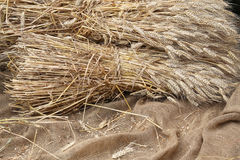 Mature ears of wheat on   jute fabric. Mature ears of wheat on a background of raw jute fabric Stock Photography