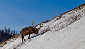 Mature elk bull looking for food on steep snowy hill royalty free stock images