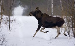 Mature Elk goes at high speed through some open and clear area in winter wood stock photos