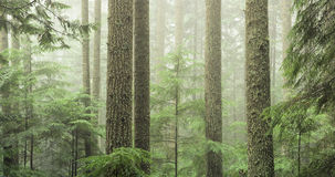 Mature evergreen forest Royalty Free Stock Images