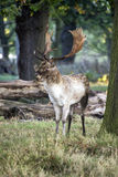 Mature fallow deer buck in forest on Autumn Fall morning landsca Stock Photography