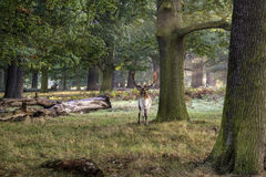Mature fallow deer buck in forest on Autumn Fall morning landsca Royalty Free Stock Image