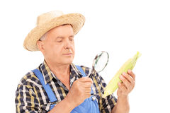 Mature farmer examining maize through a magnifier. Isolated on white background Stock Photos