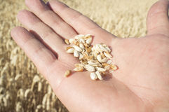 Mature farmer hand holding a handful of wheat grains just picked. Fruits of his labor Royalty Free Stock Image