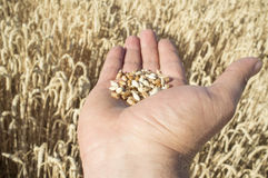 Mature farmer hand holding a handful of wheat grains just picked. Fruits of his labor Royalty Free Stock Photography