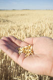 Mature farmer hand holding a handful of wheat grains just picked. Fruits of his labor Royalty Free Stock Photos