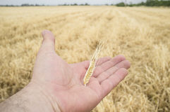 Mature farmer hand holding a yellow wheat ear just picked. Fruits of his labor Stock Image