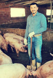Mature farmer in hangar with hogs Royalty Free Stock Image
