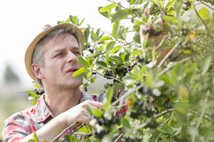 Mature farmer with hat picking berries at farm royalty free stock images