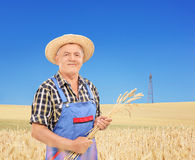 Mature farmer holding wheat straws in a field Royalty Free Stock Images
