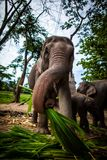Mature female elephant with sugarcane Royalty Free Stock Image