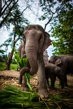 Mature female elephant with sugarcane Royalty Free Stock Images