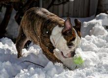 Mature English Bull Dog Playing. Mature female English bull dog playing with a tennis ball in the snow Royalty Free Stock Image
