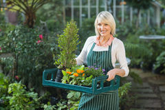 Mature female gardener carrying plants in crate Royalty Free Stock Images