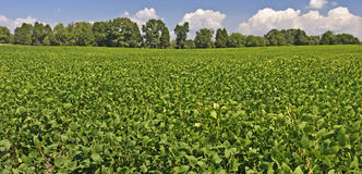 Mature Field of Soybeans Stock Photography