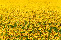 Mature field of sunflowers Royalty Free Stock Images