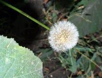 Mature fluffy dandelion royalty free stock image