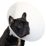 Mature french bulldog with elizabethan collar Royalty Free Stock Photography